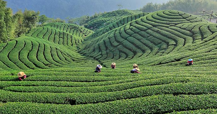 Alishan tea plantation alishan Taiwan by Taiwan Tourism