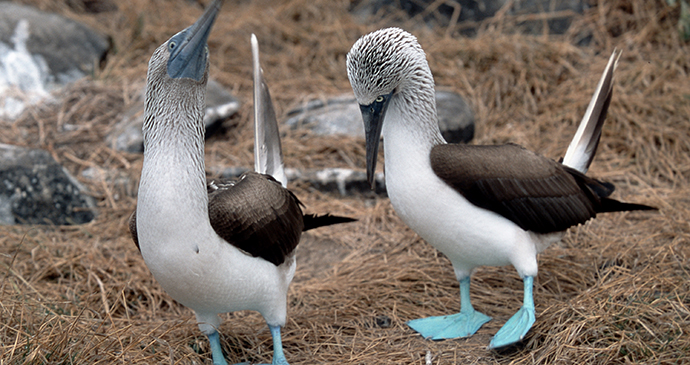 Blue-footed booby in the Galapagos by Hans Stieglitz, Wikimedia Commons