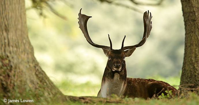 Fallow deer Suffolk UK by James Lowen