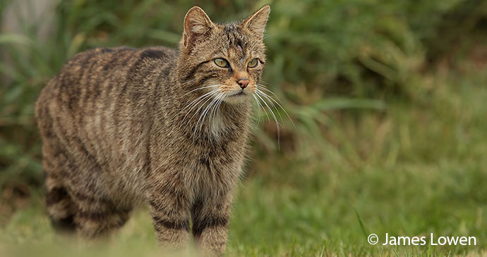 Scottish wildcat UK by James Lowen