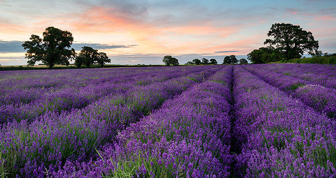 rows of lavender, Somerset by Helen Hotson, Shutterstock