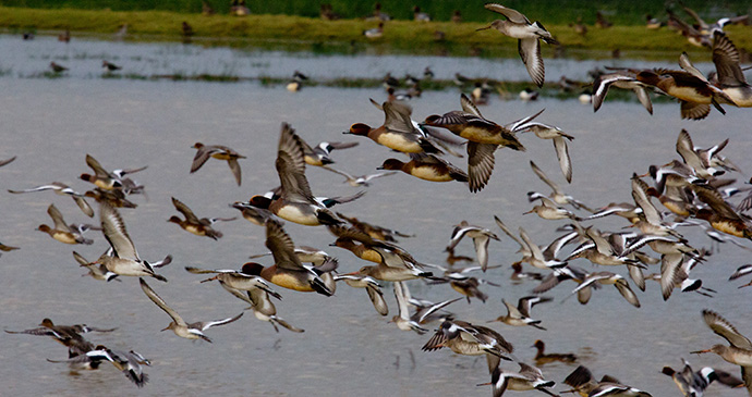Black-tailed godwits and wigeon, Pulborough Brooks, Sussex, England by Anne Harwood