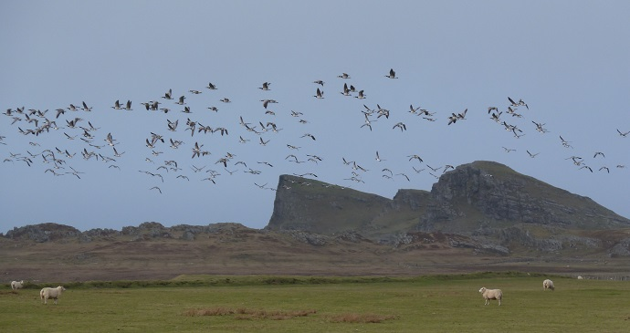 Barnacle Geese (Branta leucopsis) fly over Islay, Scotland © Nige Brown, Wikimedia Commons