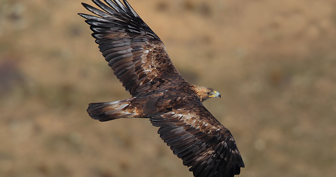Golden Eagle by Juan Lacruz Wikimedia Commons connecting with nature Britain