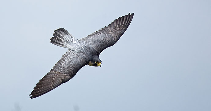 Peregrine falcon by Sue Robinson, Shutterstock connecting with nature Britain
