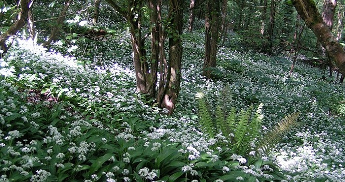 Ramsons in the woodland, England © Sannse, Wikimedia Commons