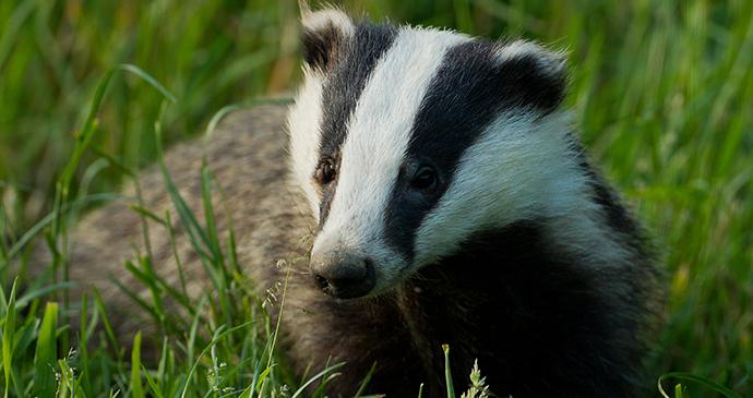 Badger, Dorset, England, British Isles © Alexandra Richards