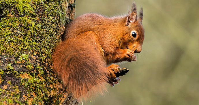 Red squirrel Eskrigg Nature Reserve Dumfries and Galloway Scotland by Bob Little/Eskrigg Nature Reserve