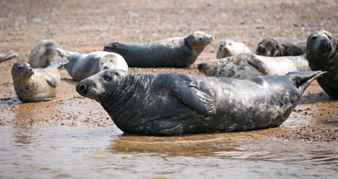 Seals, Blakeney, Norfolk by Norfolk Coast Partnership