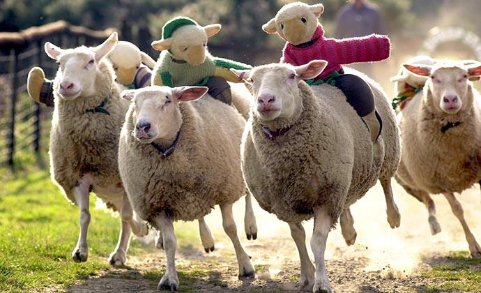 Sheep racing, Abbotsham, North Devon, UK by The Big Sheep