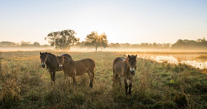 Exmoor ponies Exmoor Devon England UK by JaklZdenek Shutterstock