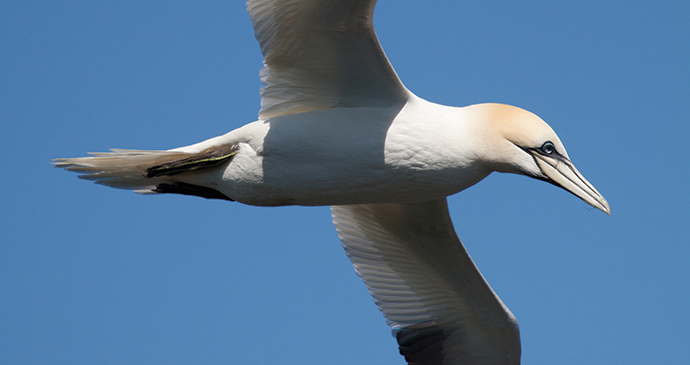 Gannet Bempton Cliffs North Yorkshire by Tom Marshall Yorkshire Wildlife Trust