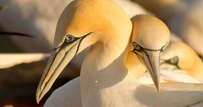 Gannets by Micha Klootwijk, Shutterstock