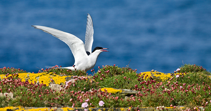 Arctic tern Orkney Scotland by Orkney.com