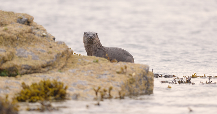 Otter Orkney by Orkney.com