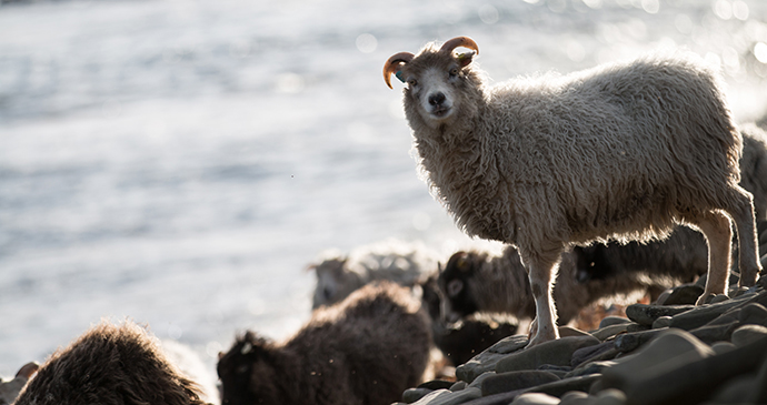 North Ronaldsay sheep Orkney Scotland remote island by Orkney.com