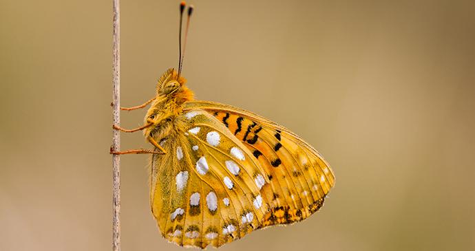 fritillary butterfly, small hillsby Rudmer Zwerver, shutterstock