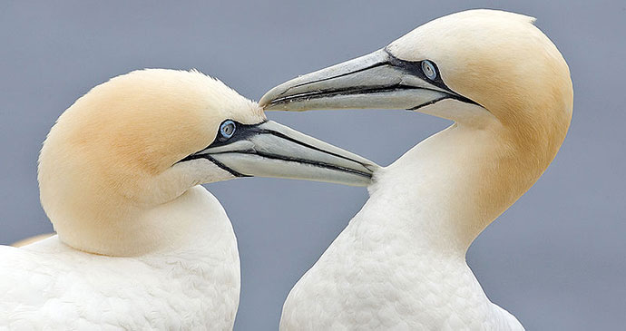 Gannet, South Devon by Al Wilson, Wikimedia Commons