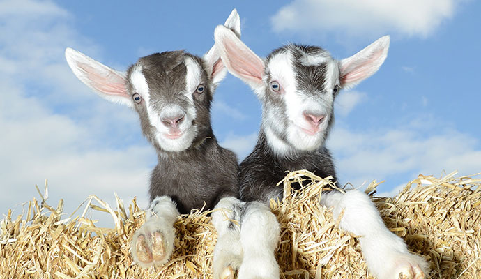 Baby goats, Pennywell Farm, South Devon by Pennywell Farm