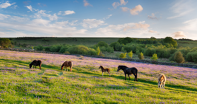 Ponies grazing, Emsworthy meadow, Dartmoor National Park, Dartmoor, South Devon by Helen Hotson, Shutterstock