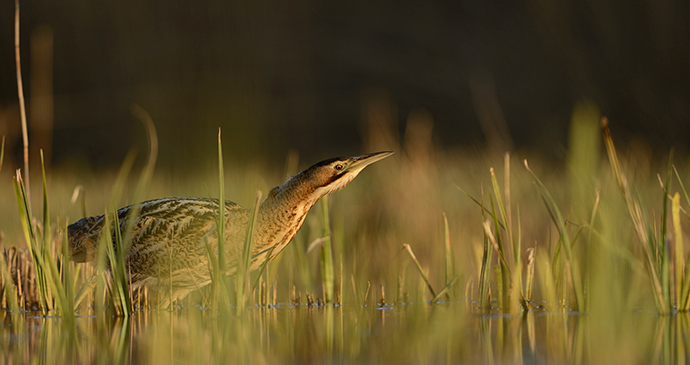 bittern among the reedbeds by Ben Andrew, rspb-images.com