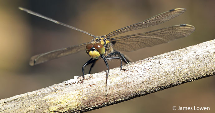 White-faced darter British Isles by James Lowen