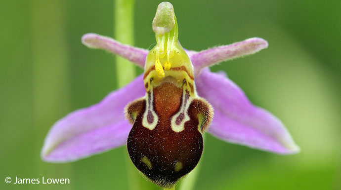 Bee orchid British Isles by James Lowen