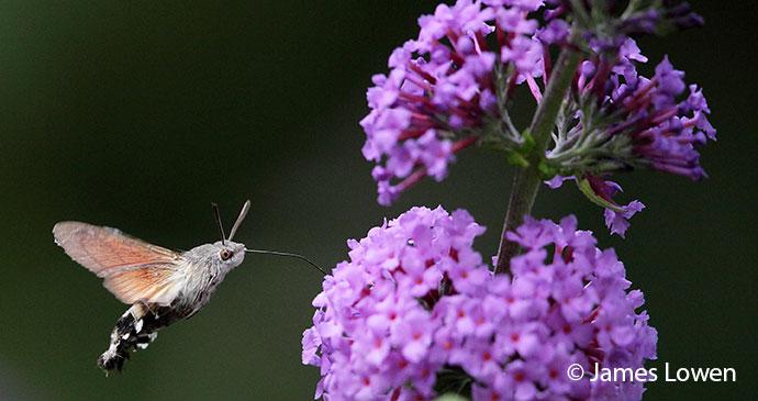 Hummingbird hawkmoth Britain UK by James Lowen