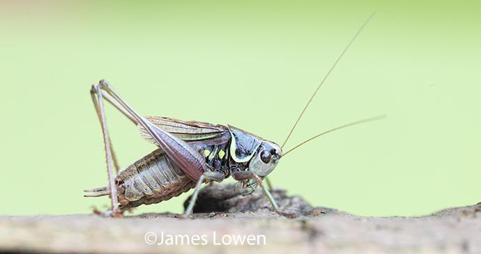 Roesel's bush-cricket by James Lowen