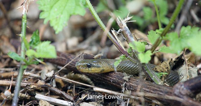 Aesculapian snake, Camden, United Kingdom by James Lowen