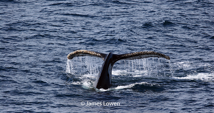 Humpback whale, Yorkshire, United Kingdom by James Lowen