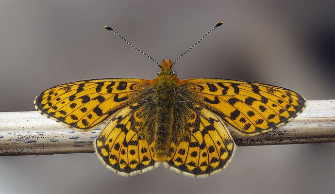 Pearl bordered fritillary by Iain Lawrie, Wikimedia Commosn