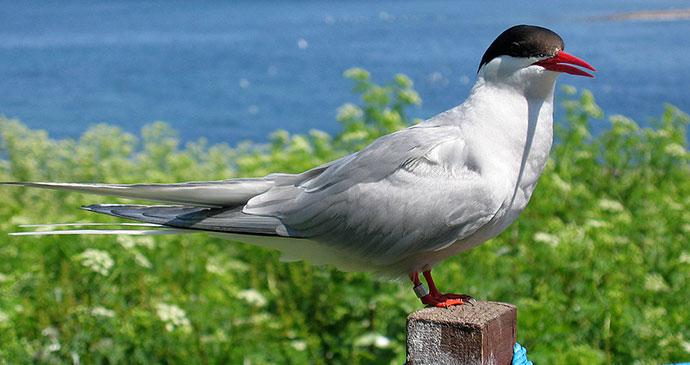 Arctic tern Farne Islands UK by geograph, Wiki