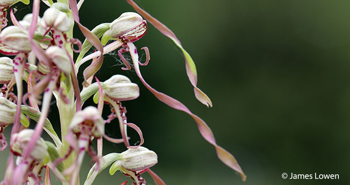 Lizard orchid UK by James Lowen