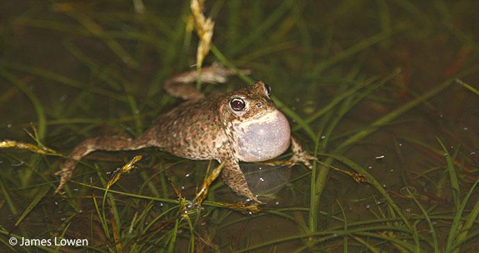 Natterjack toad UK Britain by James Lowen