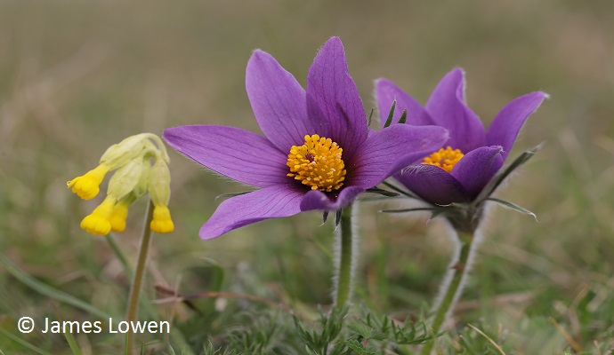 Pasqueflower British Isles UK by James Lowen