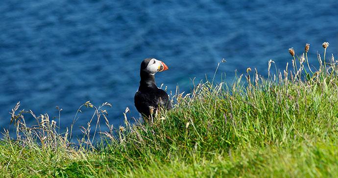 Puffin Scotland Britain © Agenturfotografim, Shutterstock