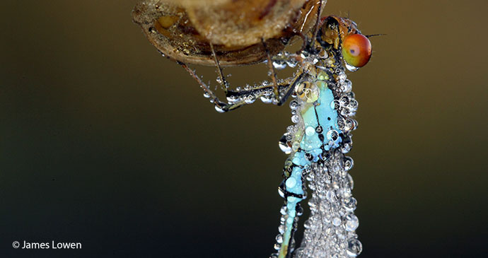 Red-eyed damselfly Britain UK England by James Lowen