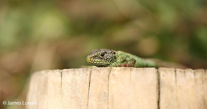 Sand lizard UK Britain by James Lowen