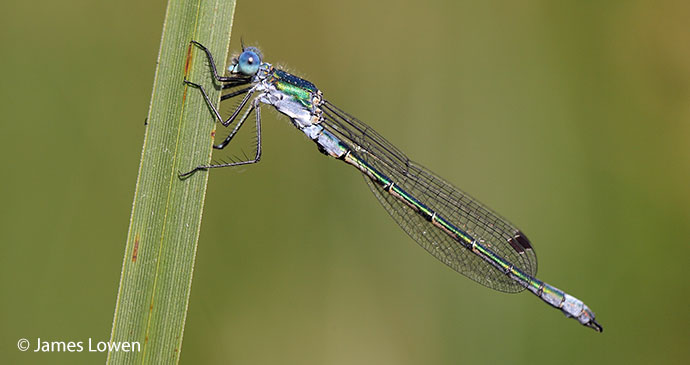 Scarce emerald damselfly England UK Britain by James Lowen