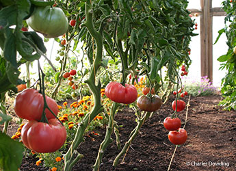 Tomatoes Garden Day Wild Times UK by Charles Dowding