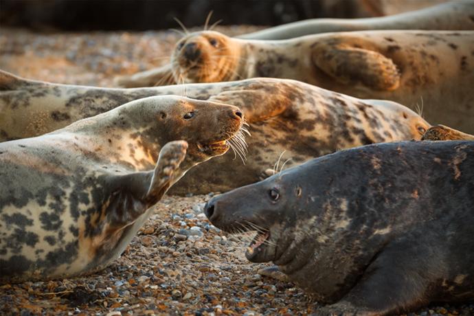 Seals Blakeney Point Norfolk Wilderness Cookbook Neil Burton Shutterstock