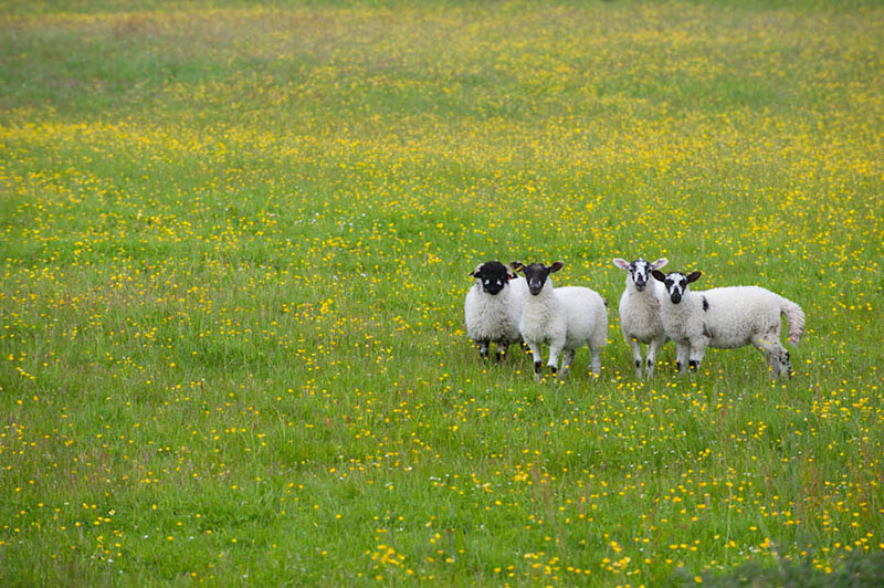 Swaledale Sheep, Yorkshire Dales by Welcome to Yorkshire