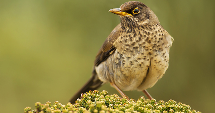 Falkland thrush, Falklands by Giedriius, Shutterstock