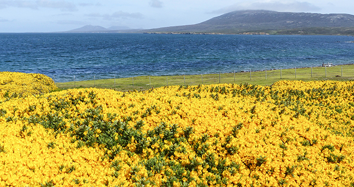 Gorse, Pebble Island, Falkland Islands by Will Wagstaff