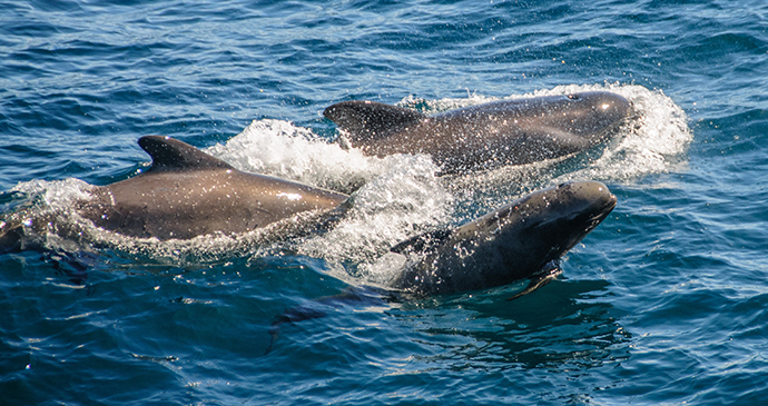 Long-finned pilot whale, whale-watching, Falkland Islands by Goldilock Project, Shutterstock