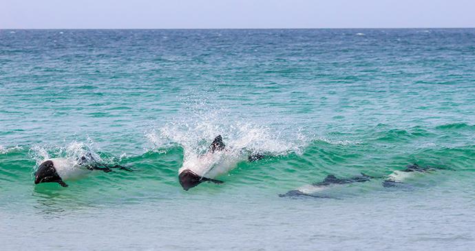 Commerson's dolphins, Bertha's Beach, Falkland Islands by fieldwork, Shutterstock