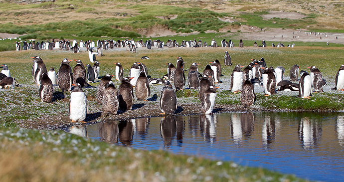 gentoo penguins, New Island, Falkland Islands by Grant Tiffen, Shutterstock