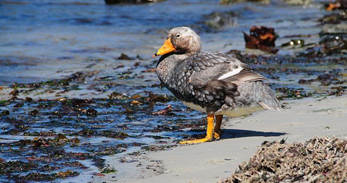 Falkland steamer duck, Falkland Islands by Goldilock Project, Shutterstock