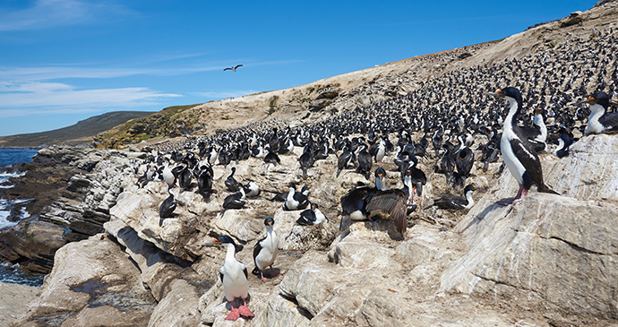 Imperial shag colony, Carcass Island, Falkland Islands by JeremyRichards, Shutterstock